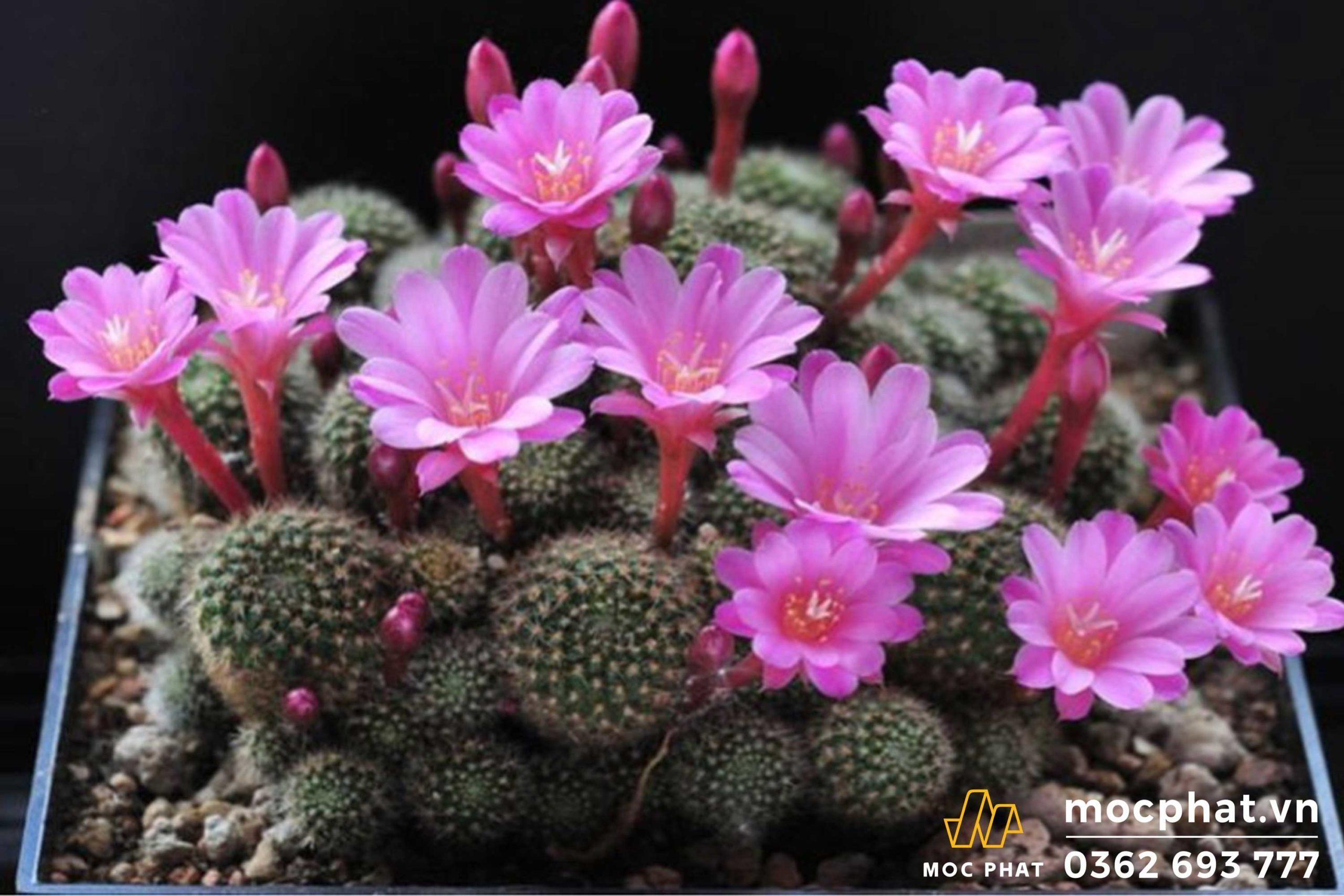 Hoa xương rồng