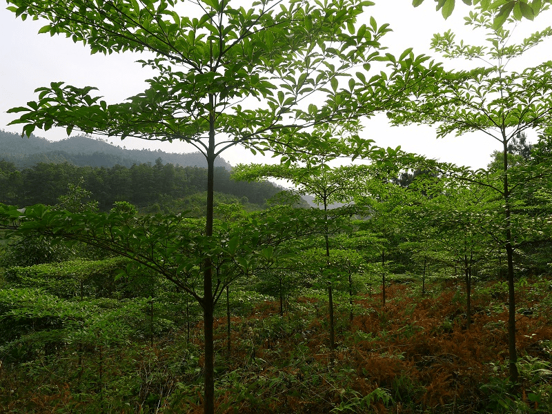 gỗ Chiu Liu