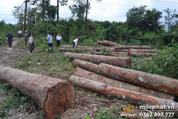Gỗ Teak Myanmar được kiểm tra nghiêm ngặt về thời gian khai thác