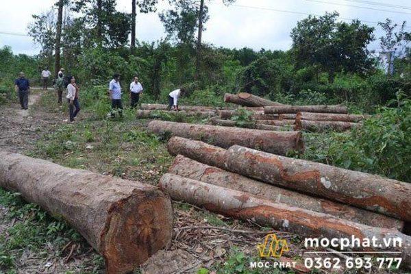 Gỗ tự nhiên được khai thác từ rừng rậm