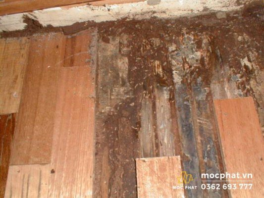 Sàn gỗ tự nhiên bị mối