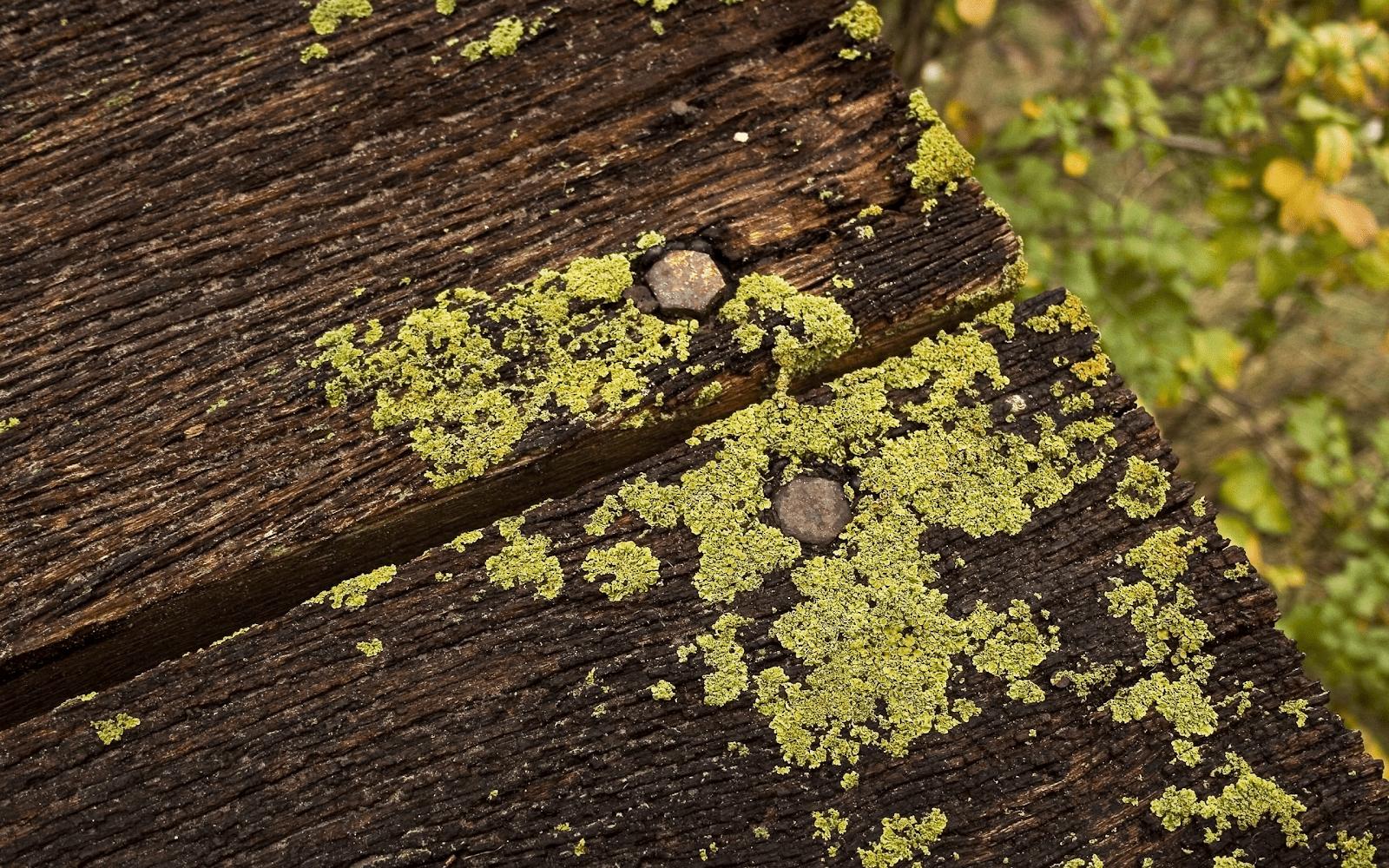 Rêu mọc trên bề mặt sàn gỗ ngoài trời